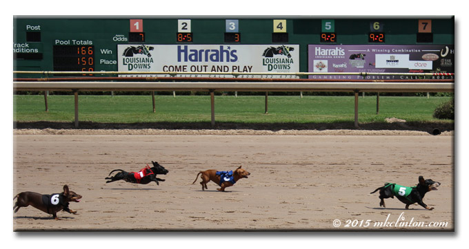 Four Dachshunds racing on horsetrack