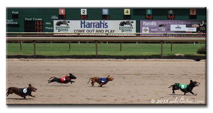 Four Dachshunds racing on horsetrack