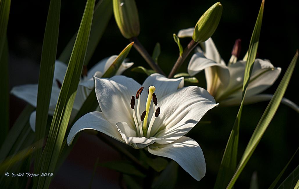 La magia de mi jardin azucena que no te falte una for Azucena plantas jardin