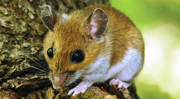 Pengendalian Tikus