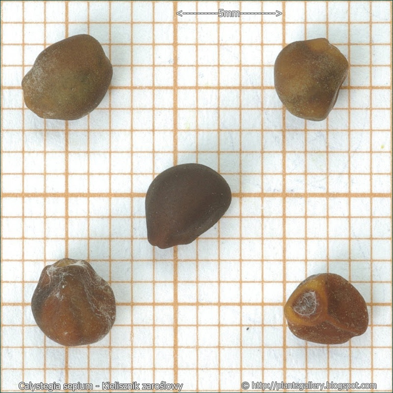 Calystegia sepium - Kielisznik zaroślowy nasiona