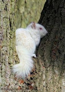 Tupai Albino Putih Yang Comel
