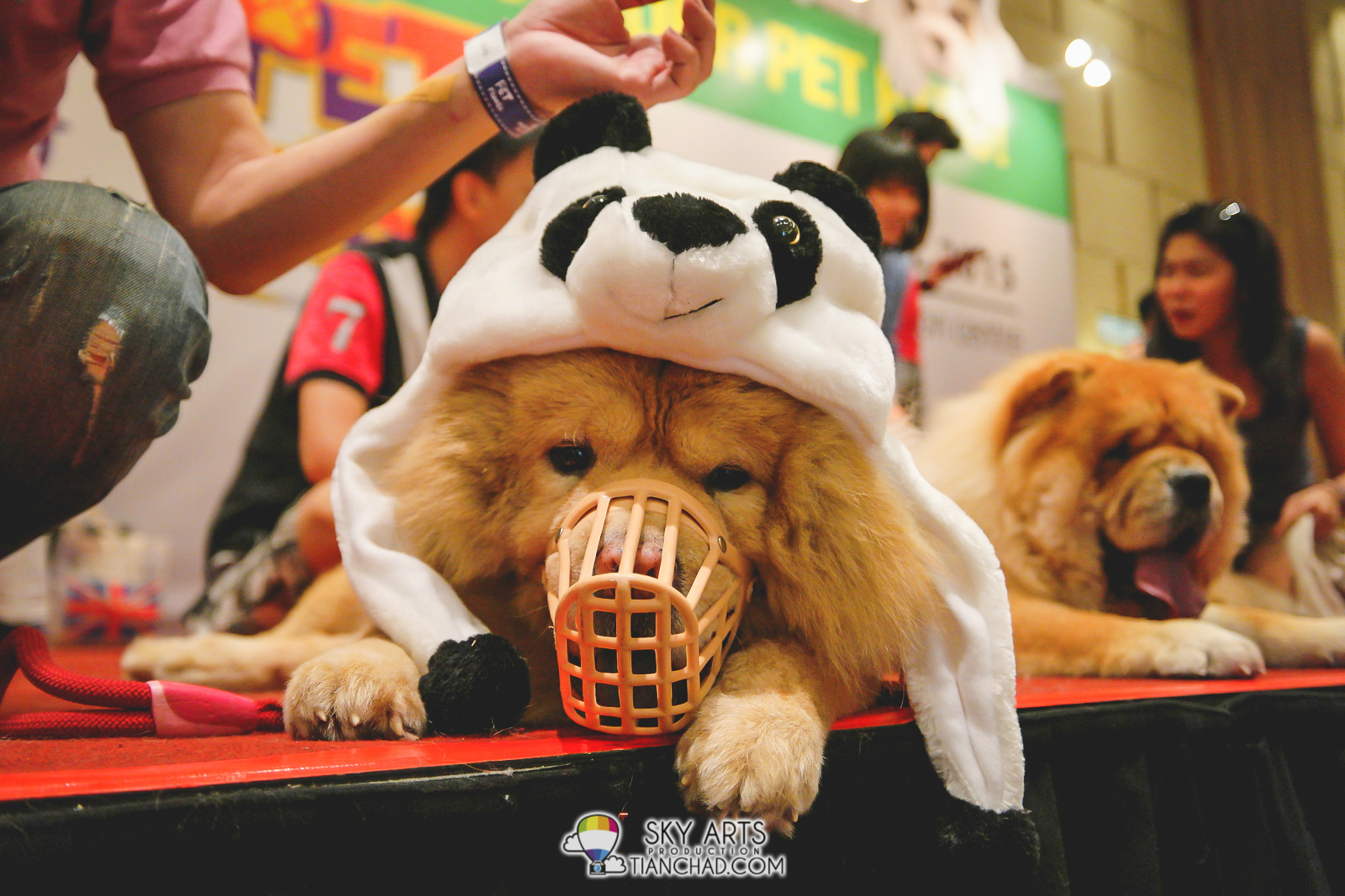 I wonder why this Chow Chow need to has his mouth covered like Bane. He seems sad