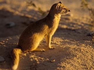 Mungos životinje download besplatne pozadine slike za mobitele