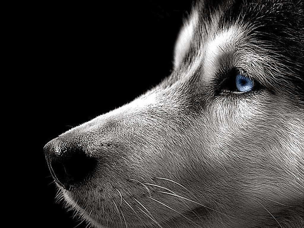 Rules of the jungle siberian husky puppies - Pictures of siberian huskies ...