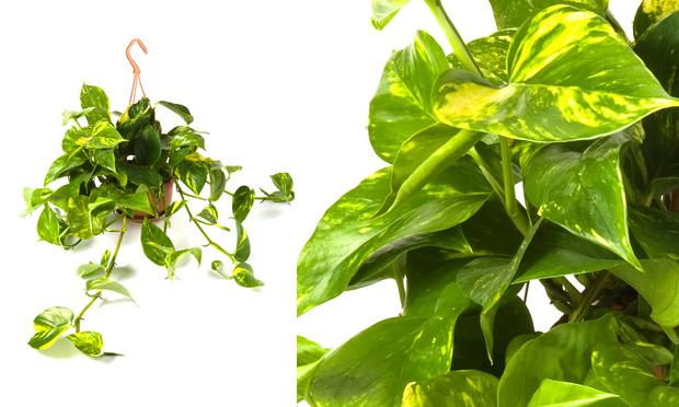 Studio floral dora santoro 10 plantas para dentro de casa for Plantas para dentro de casa sombra