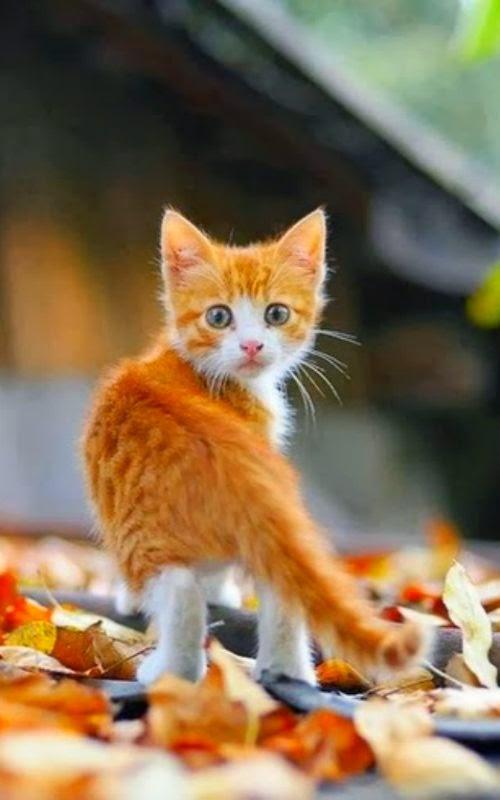 cat lynx autumn foliage - photo #41
