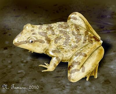 Amphibia prehistorica Eodiscoglossus
