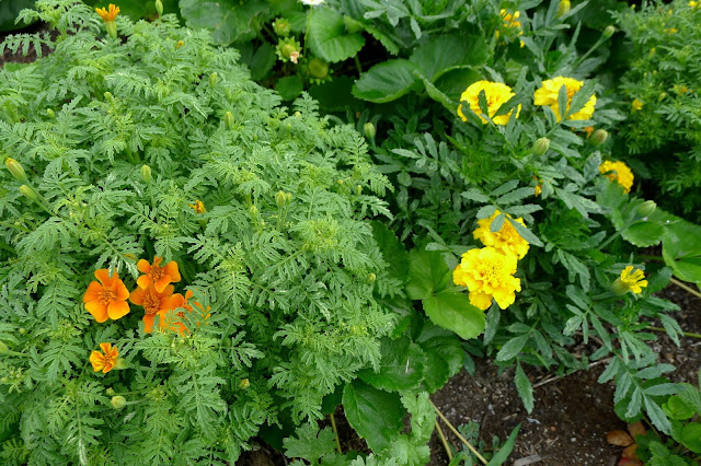 Gem and Lemon Drop Marigolds, edible flowers