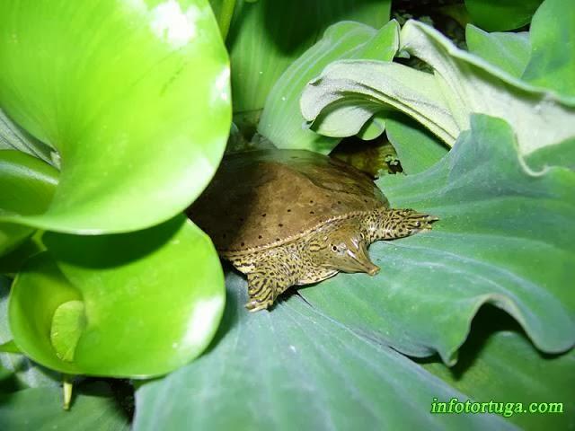Apalone spinifera