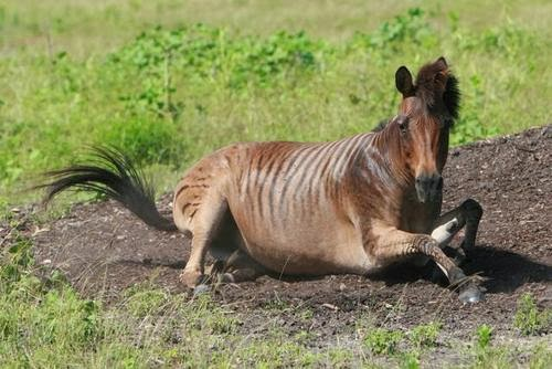 Image of a zorse