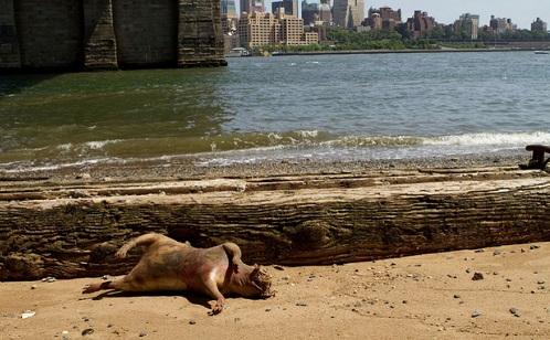 Manhattan - Rata gigante aparece Manhattan-rata