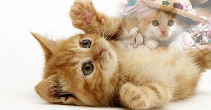 Wallpaper Gambar Kucing Expresi Lucu Marah Cute Sedih