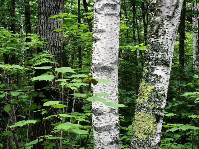Aspen trunks, north wood, quetico provincial nature wallpaper