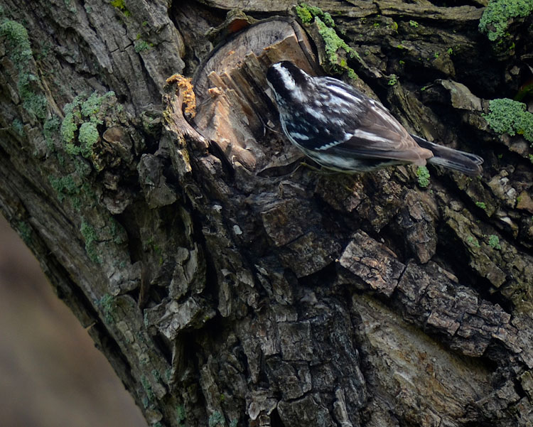 ...a Black and White warbler examining the decaying remains of a branch in the trunk.