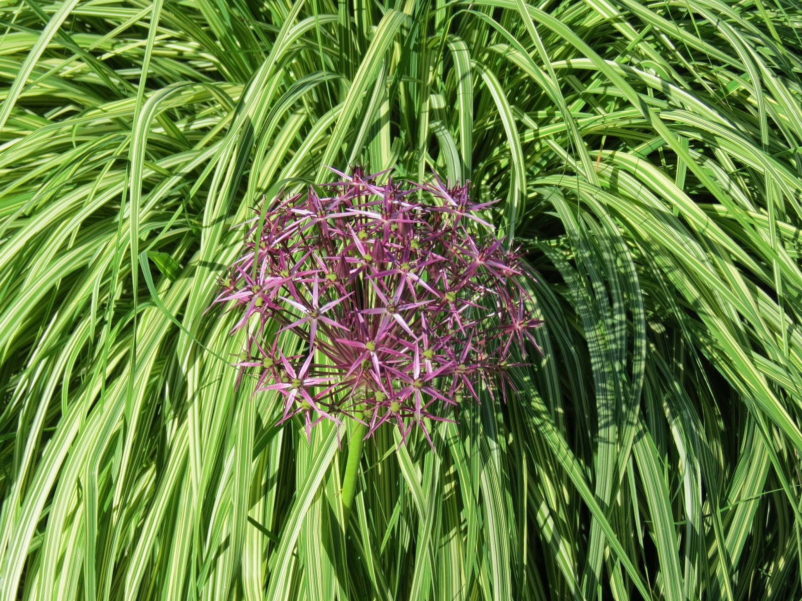 Molinia caerulea 39 variegata 39 is my favorite plant in the for Variegated grass with purple flower