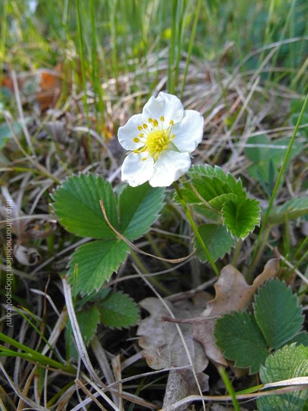 In nome dei fiori fiori bianchi di fragola di bosco for Nomi di fiori bianchi