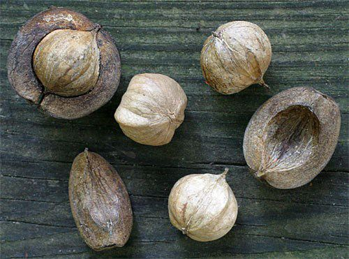 Fruit Nut And Ornamental Trees 101 H Is For Hickory Nut Trees