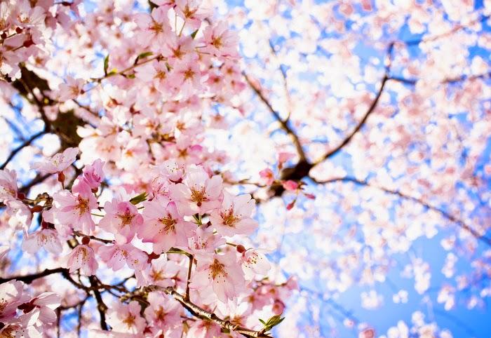 Sakura cherry blossoms, Japan