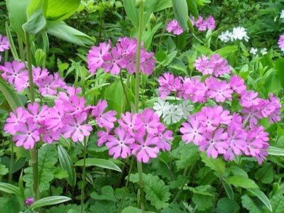 Primula sieboldii - © Wikipedia