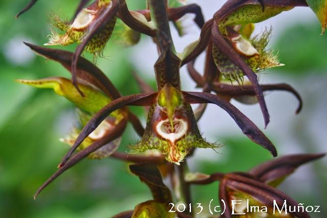 Catasetum saccatum. 2013 (c) Elma Muñoz