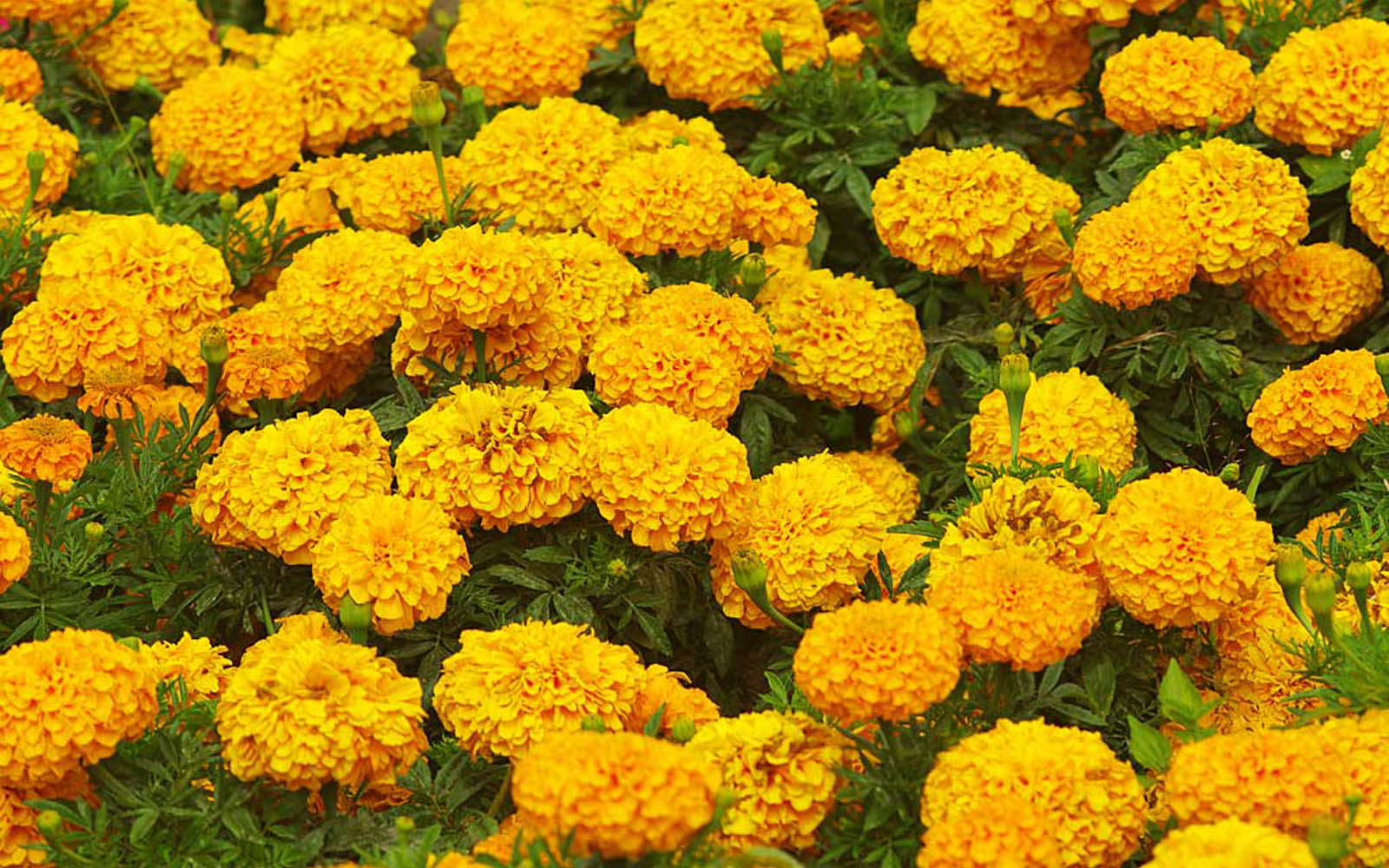 wallpapers: Marigold Flowers Wallpapers