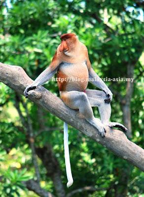 Proboscis Monkey picture