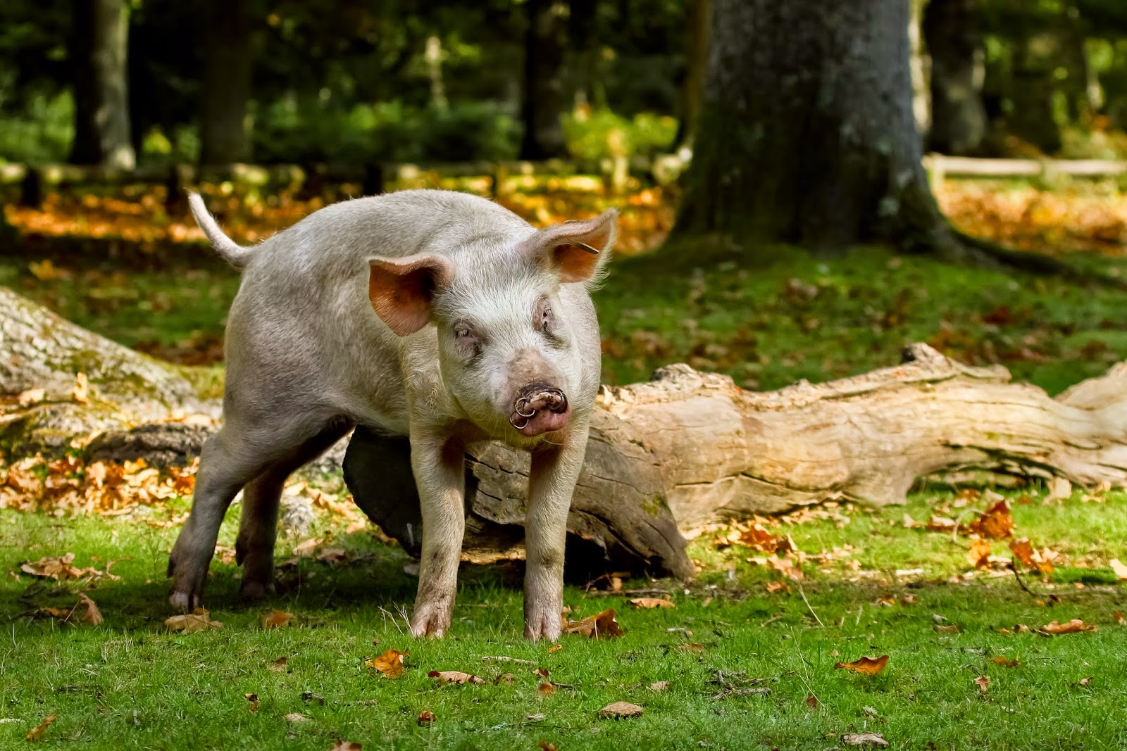 Pig at Balmer Lawn in the New Forest Hampshire UK