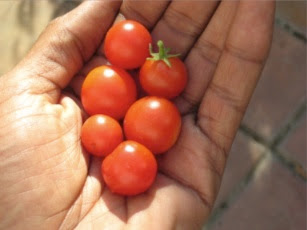 Effective Caregiving Like Growing Tomatoes