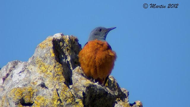 Macho de Roquero rojo ( Monticola saxatilis ) Common Rock Thrush's