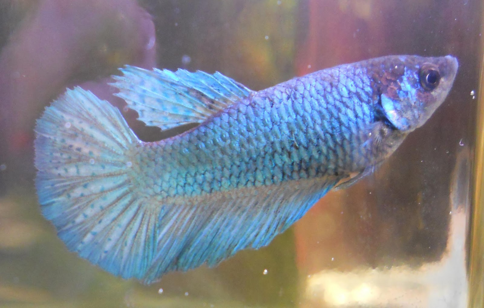 Complete Guide to Betta Fish Diseases and Treatment with