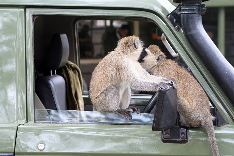 Vervet monkey in a car in Kenya