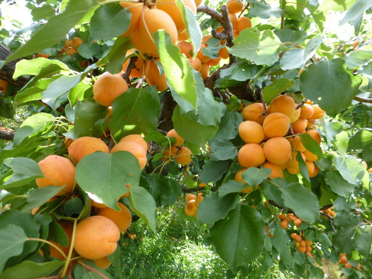 Di rio com a natureza 24 de junho damasqueiro damasco fruto flor prunus armeniaca - Alberi da frutta in giardino ...