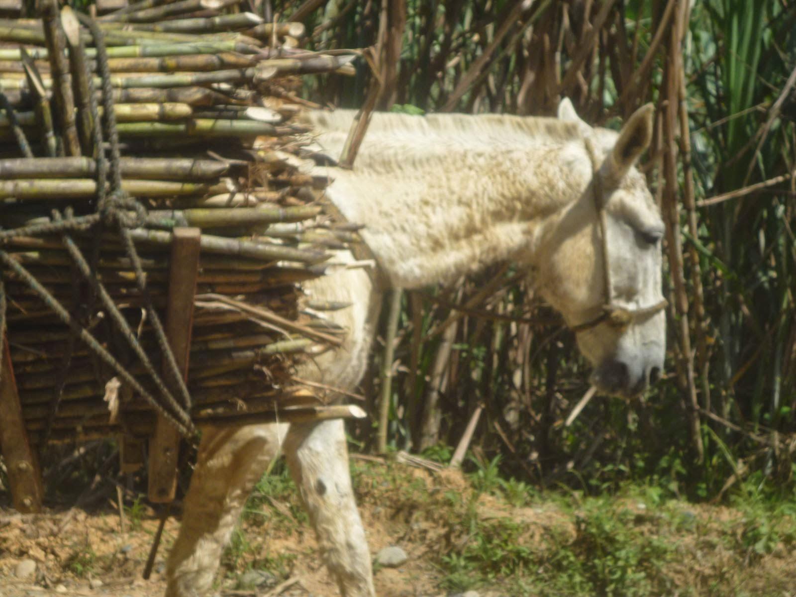 Animal de Tiro y Carga en Colombia caña de azucar