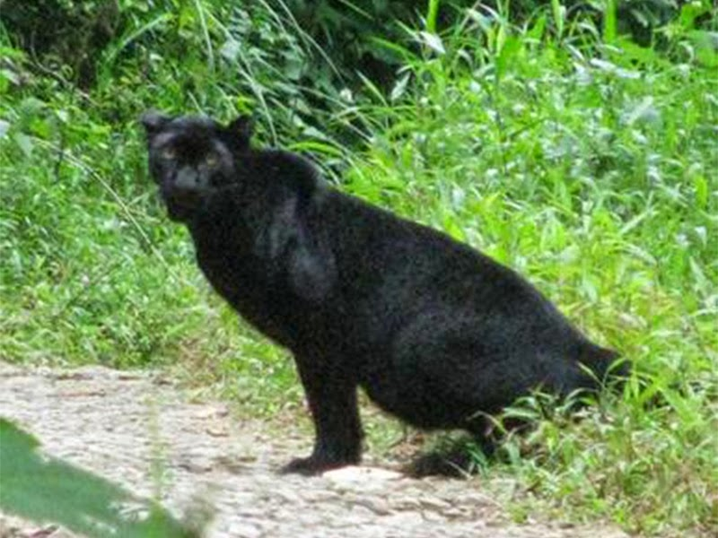 Black Panther are one of the member of the cat families that can be spotted in Paramabikulam Wildlife Sanctuary