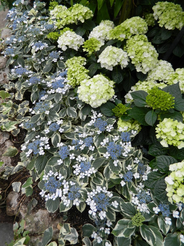 Allan Gardens Conservatory Easter Flower Show blue lacecap white mophead hydrangeas by garden muses: a Toronto gardening blog