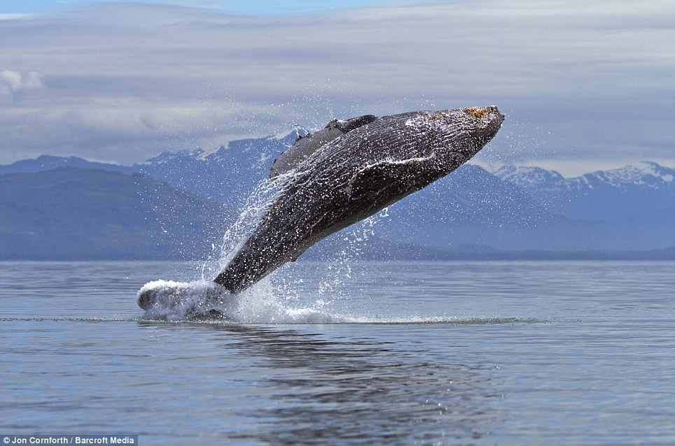 The World In Pictures Jumping For Joy Humpback Whales