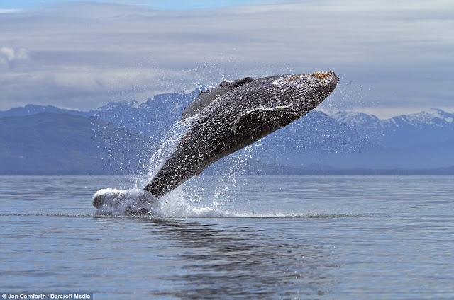 صـــــور مذهـلة للحيتان الحدباء وهي ترقص في مياة المحيط الهادئ في ألاسكا  Humpback%20whales01