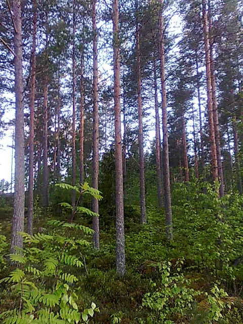 Forests of northern Karelia