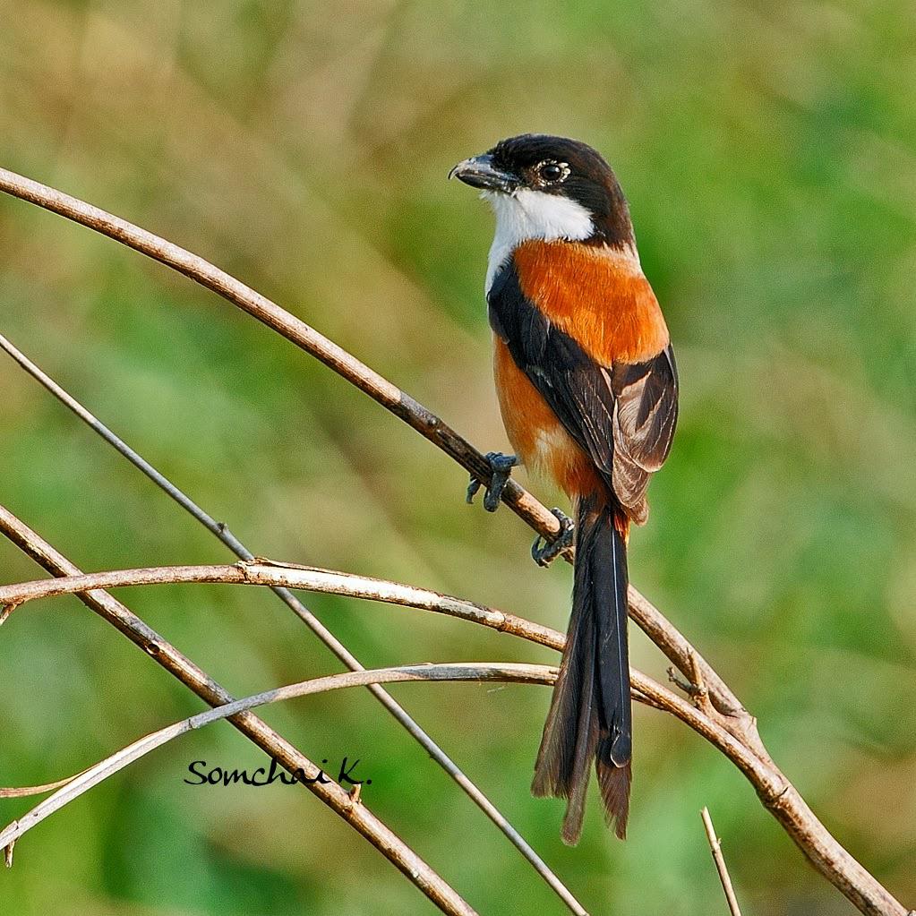 Gambar Cara Merawat Burung Pentet