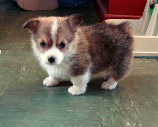 Cute Corgi Puppy Pictures