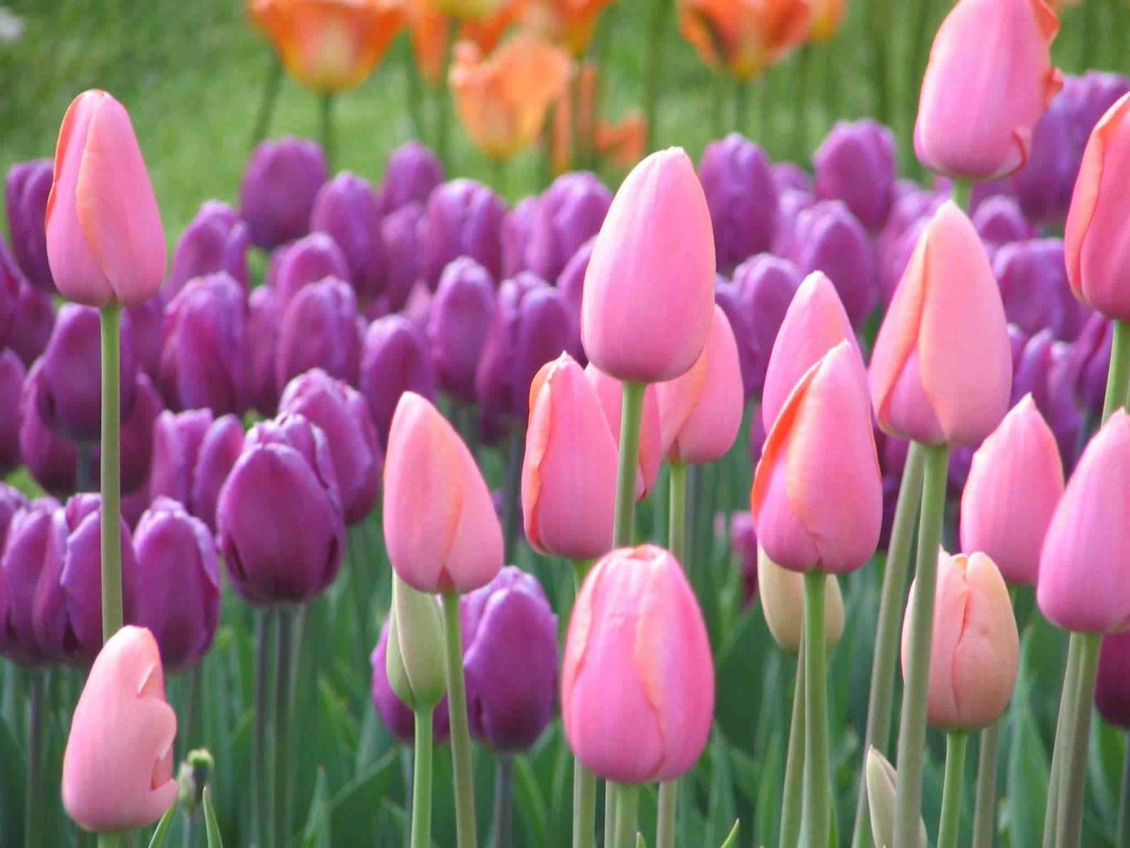 Gambar Taman Bunga Tulip Merah Kumpulan Gambar Gambar  Auto Design Tech