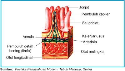 Jaringan-jaringan penyusun organ usus