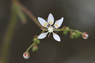Micranthes ferruginea (Rusty Saxifrage)