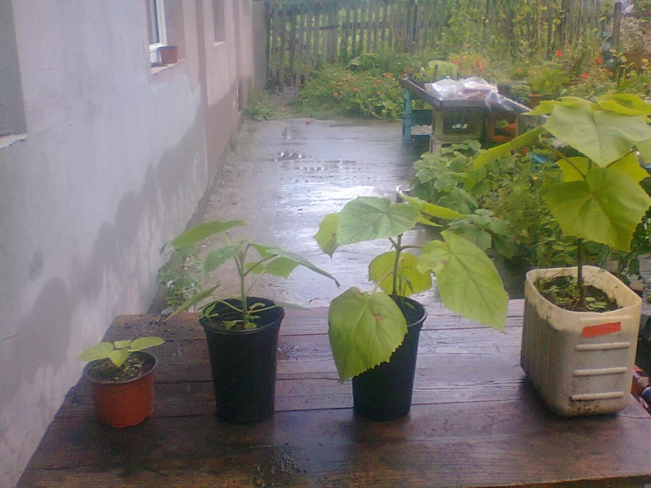 Une bonne affaire le paulownia comment faire germer for Plante 6 mois