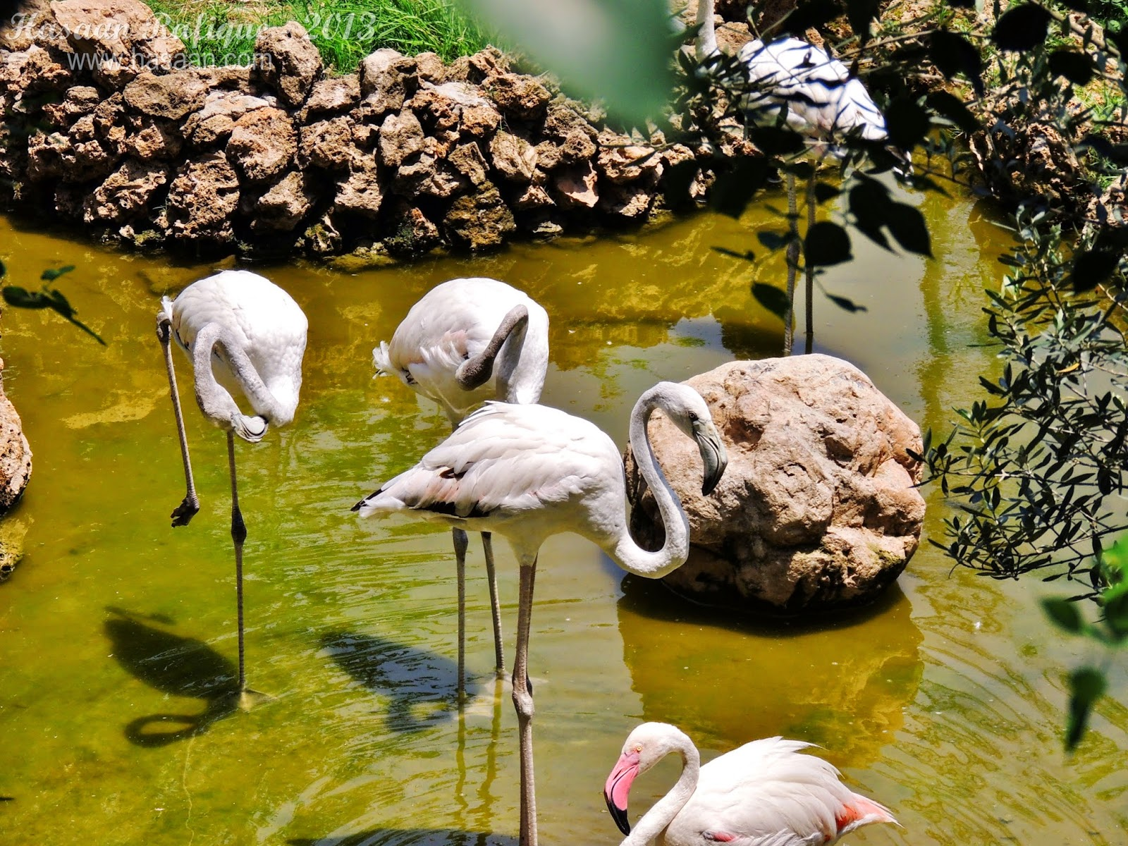 Several flamingoes with some standing in their classic one-legged position.