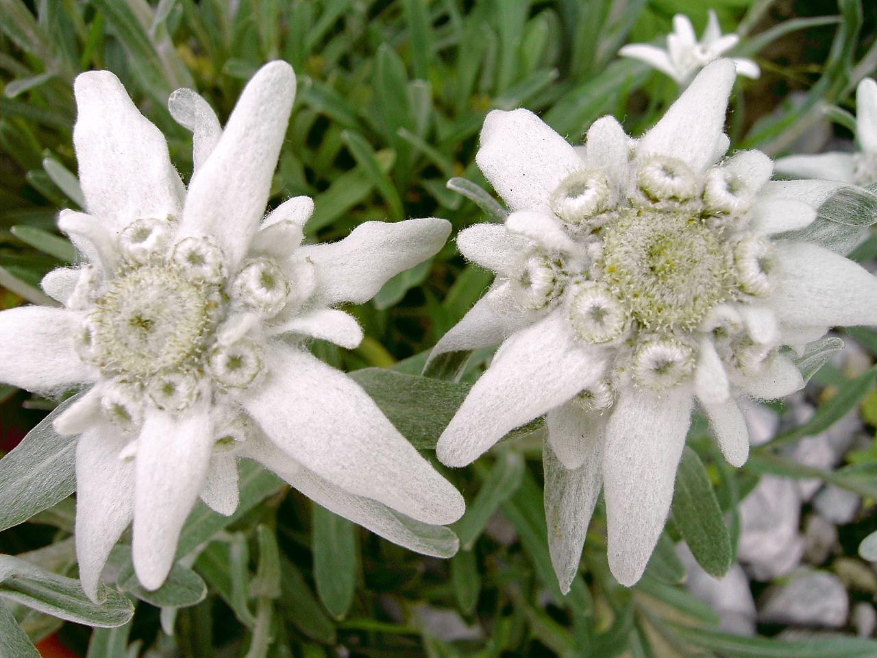 Mengenal Edelweis Bunga Abadi Pojokgaul Com