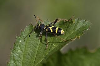 Para ampliar Clytus arietis (Linnaeus, 1758) Escarabajo avispa hacer clic