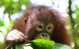 three-year-old female orangutan
