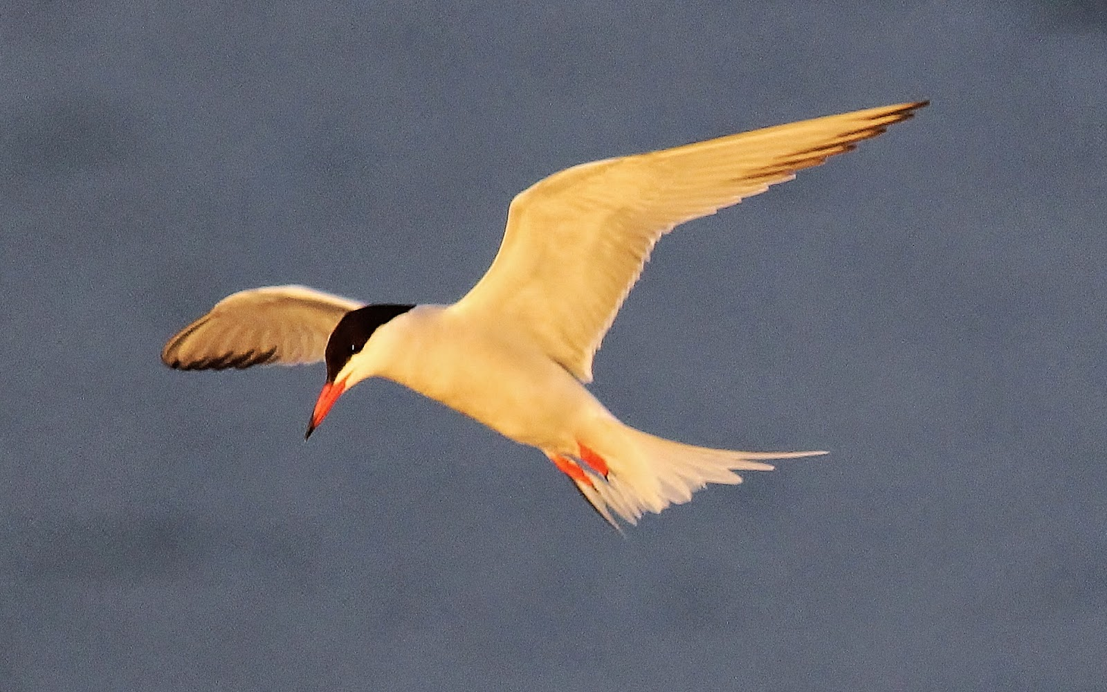 Common terns make a comeback in ny harbor nature on the for New york state fish